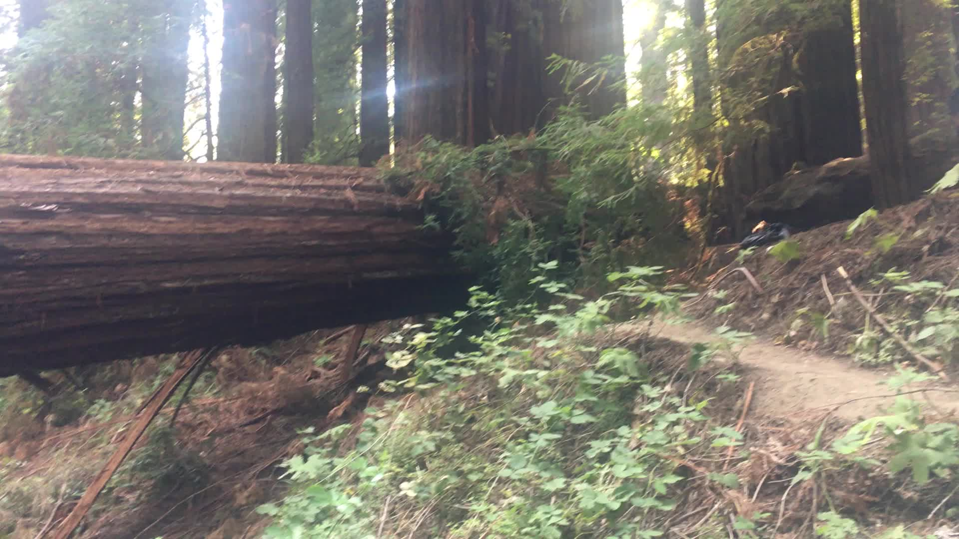 mattjh, This fallen redwood tree looks like it was filled with 2x4s [OC] GIFs