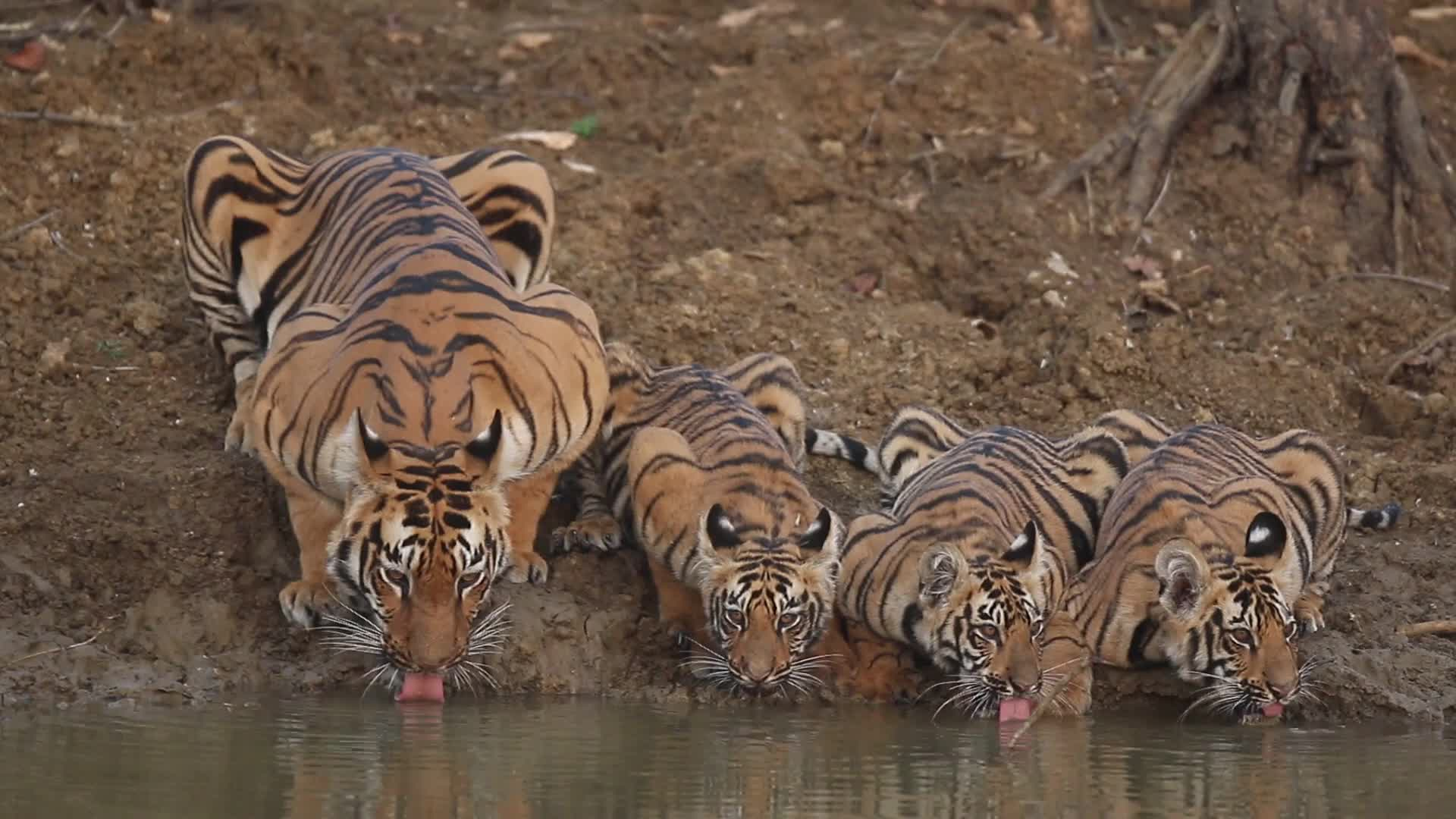 Pets & Animals, tigers, Gorgeous Mama Tiger and Cubs Take a Drink GIFs